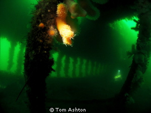 Atmosphere inside the Thesis wreck. Snooted corals and a ... by Tom Ashton 